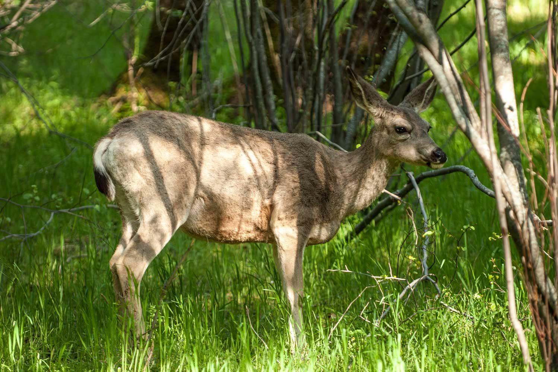 Северо-американский олень